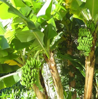 banana-trees-95k