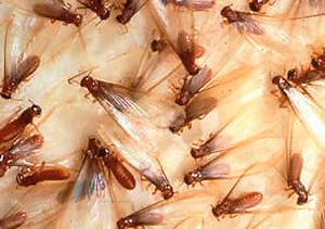 drywood termite carcoma Gran Canaria