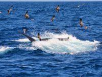 Dolphin Search Lineas Salmon Anfi Del Mar