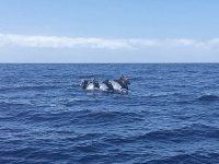 Linea Salmon 5 dolphins Arguineguin mogan